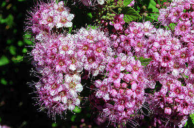 Photograph - Tiny Pink Spirea Clusters by Tikvah's Hope