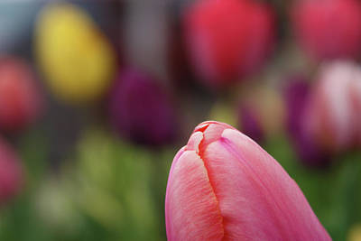 Photograph - Tiny Pink Tulip by Marie Leslie