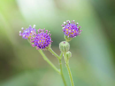 Photograph - Tiny Purple Flowers by Petrus Bester