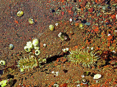 Photograph - Tiny Sea Anemones In Salt Creek Recreation Area On Olympic Peninsula, Washington by Ruth Hager