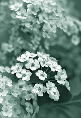 Tiny Spirea Flowers In Teal Art Print by Jennie Marie Schell