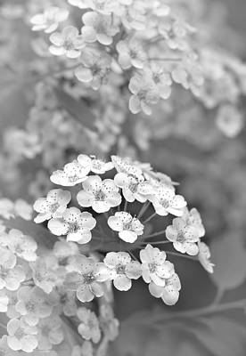 Photograph - Tiny Spirea Flowers Monochrome by Jennie Marie Schell