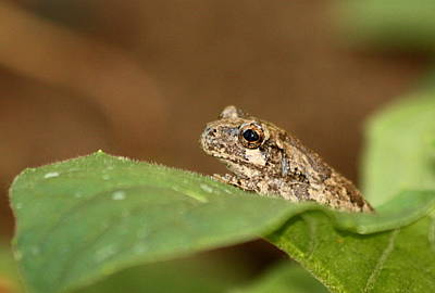Photograph - Tiny Tree Frog by Sheila Brown