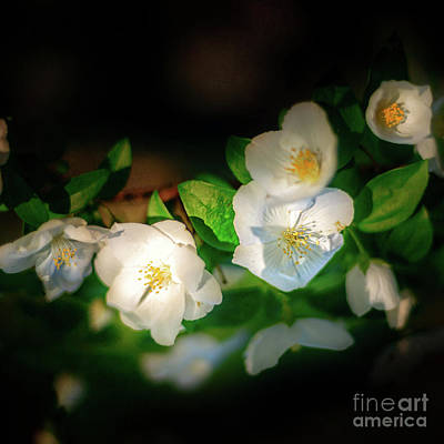 Photograph - Tiny White Azales by Tamyra Ayles