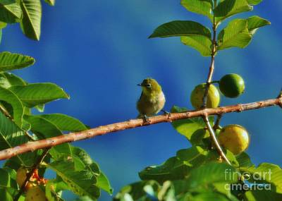 Photograph - Tiny White Eye And Guava by Craig Wood