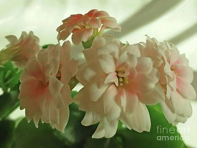 Photograph - Tiny White Fragrant by Jasna Dragun
