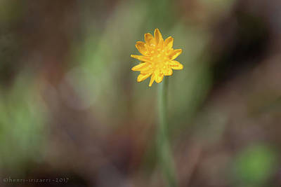 Photograph - Tiny Wild Flower by Henri Irizarri
