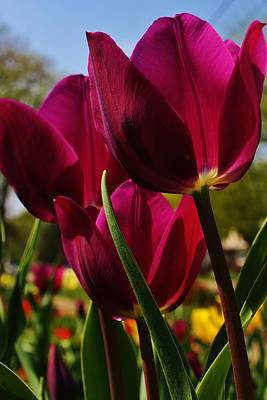 Photograph - Tip Toe Through The Tulips by Bruce Bley