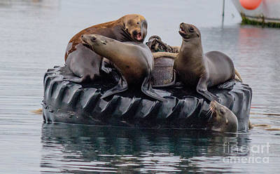 Photograph - Tire Floating Sea Lions  by DJ Laughlin