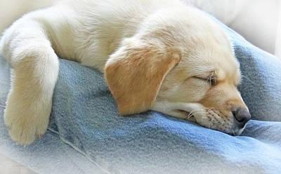 Photograph - Tired Labrador Retriever Puppy by Jennie Marie Schell