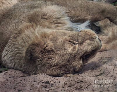 Tired Lion Art Print by Doc Braham