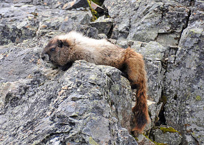 Photograph - Tired Marmot by Rebecca Parker