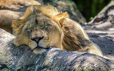 Photograph - Tired Of Lion Here by Rob Sellers