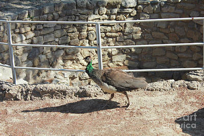 Photograph - Tita The Peahen by Donna Munro