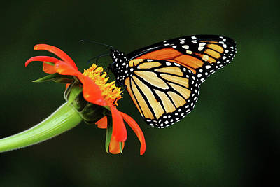 Photograph - Tithonia Loving Monarch by Debbie Oppermann