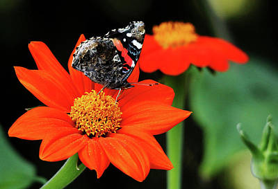 Photograph - Tithonia Loving Red Admiral by Debbie Oppermann