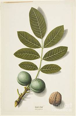 Nature Study Painting - Title Plant Study Walnut by MotionAge Designs