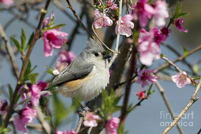 Titmouse And Peach Blossoms Art Print