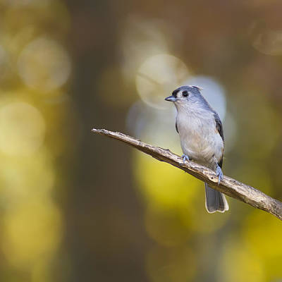 Tufted Titmouse Digital Art - Titmouse Bokeh by Bill Tiepelman