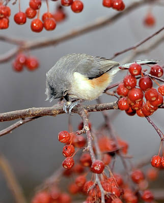 Tufted Titmouse Photograph - Titmouse Breakfast by Betty LaRue
