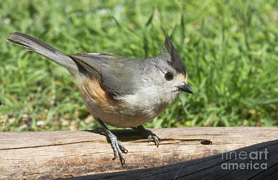 Photograph - Titmouse Close Up by David Cutts