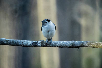 Tufted Titmouse Photograph - Titmouse Craning Neck To See by Douglas Barnett