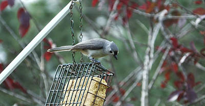 Photograph - Titmouse Feeding On Suet by Judy Wanamaker