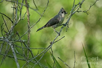 Photograph - Titmouse In The Brush by Deborah Benoit