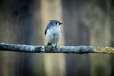Tufted Titmouse Photograph - Titmouse In The Early Dawn  by Douglas Barnett