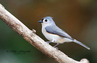 Photograph - Titmouse On A Branch by Mike Fitzgerald