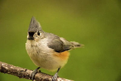 Tufted Titmouse Photograph - Titmouse Ready To Jump And Fly by Douglas Barnett