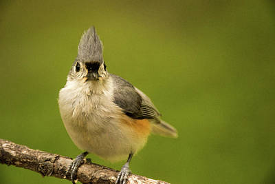 Tufted Titmouse Photograph - Titmouse Says Here Is Looking At You by Douglas Barnett