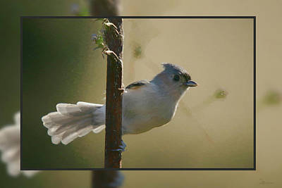Photograph - Titmouse With Fan Tail-framed by Ericamaxine Price