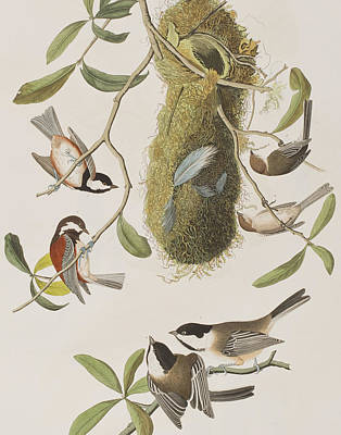 Titmouse Painting - Titmouses by John James Audubon