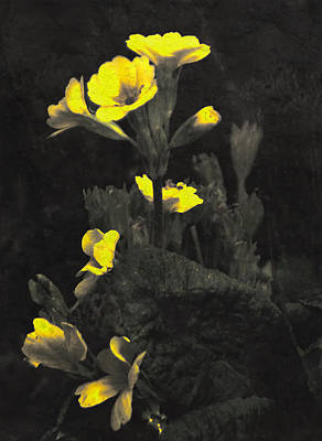 Digital Art - Textured Yellow Oxlips - Primula Elatior  by Fine Art By Andrew David