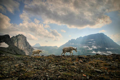 Goat Photograph - To Lead And Follow by Ryan Smith