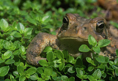 Photograph - Toad Creepming Through Foliage by Douglas Barnett