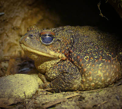 Photograph - Toad by Laurel Powell