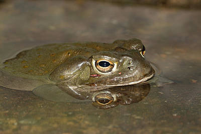 Photograph - Toad Reflection 1524 by Teresa Wilson