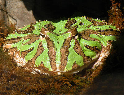 Photograph - Toad With Green Stripes by William Bitman