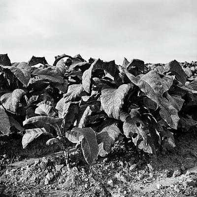 Photograph - Tobacco 4 by Patrick M Lynch