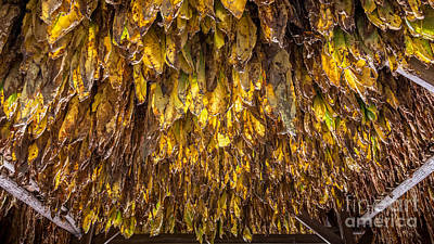 Photograph - Tobacco Leaves Hang From The Rafters - Natchez Trace by Debra Martz