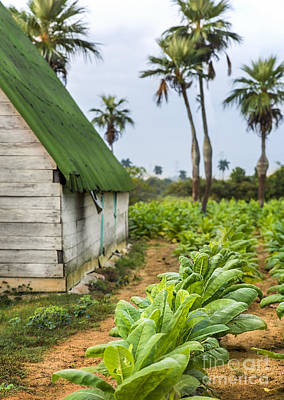 Photograph - Tobacco Plantation by Jose  Rey
