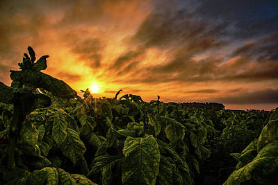 Photograph - Tobacco Rows At Sunrise by John Harding