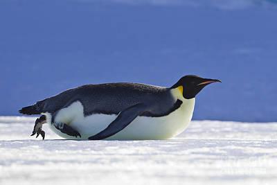Tobogganing Emperor Penguin Art Print