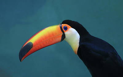 Photograph - Toco Toucan by Allen Beatty