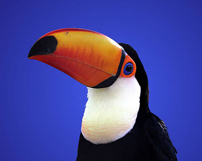 Photograph - Toco Toucan by Debi Dalio