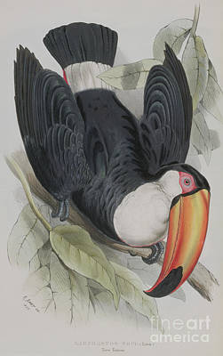 Toucan Painting - Toco Toucan by Edward Lear