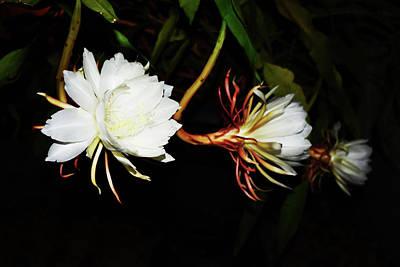 Epiphyllum Oxypetalum Digital Art - Togetherness by Belinda Nagy