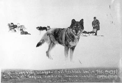 Togo Photograph - Togo The Sled Dog by Carrie McLain Museum